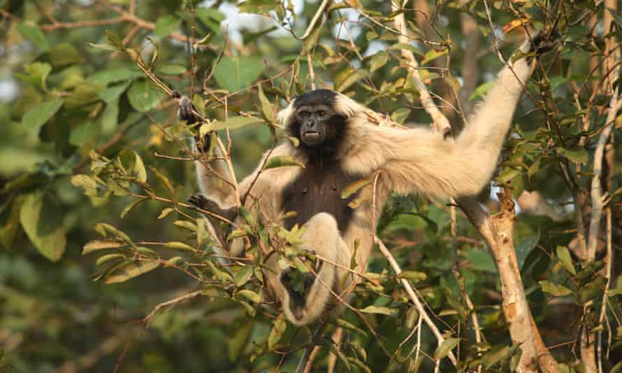 pileated gibbon in tree
