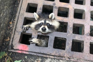 A juvenile raccoon looks out from a grate after getting stuck in Newton, Massachusetts, US