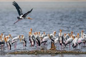 A painted stork flies past as others scout for fish at Pulicat Lake in Sriharikota, Andhra Pradesh.