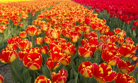 A field of tulips in Lisse, Netherlands.