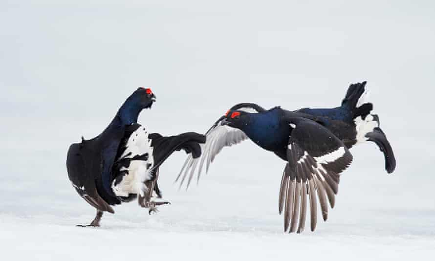 Angry Birds: Male Grouse Do Battle In Mid-Air For The Right To Mate<br>VALLA, FINLAND - APRIL 2015: Two male Black grouse (Tetrao / Lyrurus tetrix) fighting at Lek, in April 2015 in Vaala, Finland.  THESE grouse are bringing a whole new meaning to angry birds. Spring is often associated with a time of peace and tranquillity however these male grouse clearly didn't get the memo as they see it as the season to do battle. The powerful images show male black grouses in Vaala, central Finland, fighting it out for the right to mate. Every spring male grouse congregate in what is called a Lek to engage in a show of strength by fighting and posturing in the hopes of catching the eye of female grouse.  PHOTOGRAPH BY Markus Varesvuo/NPL/Barcroft  UK Office, London. T +44 845 370 2233 W www.barcroftmedia.com  USA Office, New York City. T +1 212 796 2458 W www.barcroftusa.com  Indian Office, Delhi. T +91 11 4053 2429 W www.barcroftindia.com