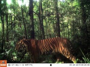 A Sumatran tiger in the Batang Gadis national park in north Sumatra, Indonesia.