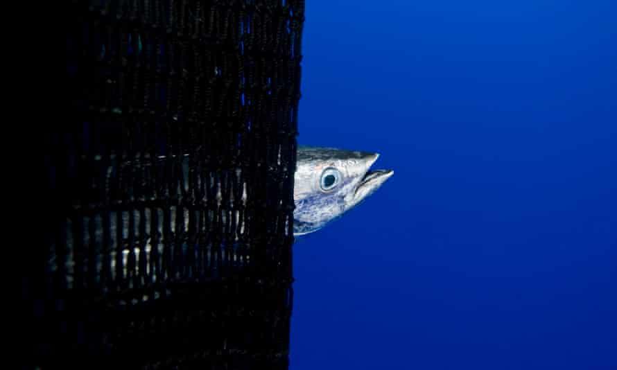 Caught skipjack tuna during a purse seine fishing operation