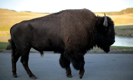 A bull bison walks in Yellowstone national park in Wyoming, where a bison tossed a nine-year-old girl in the air in an attack this week.