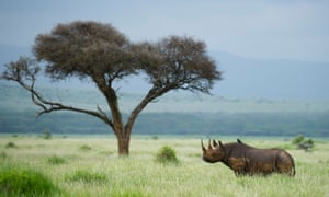 Tree of knowledge … 'if the man urinates on the rhinoceros's ear, it will run away'.