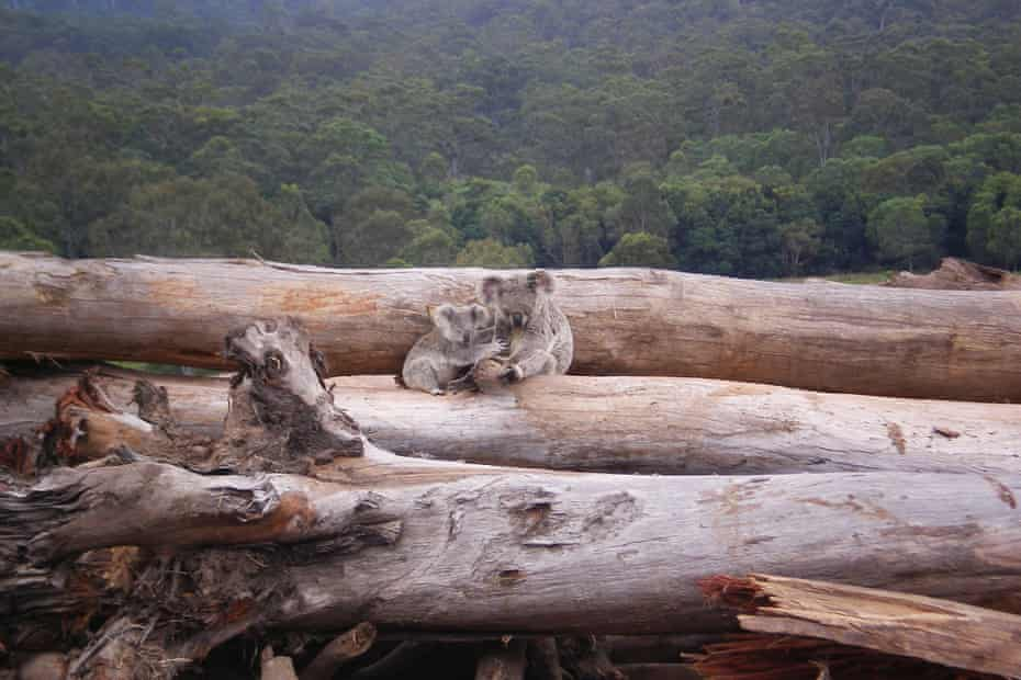 Koala mother and joey on a bulldozed log pile in Queensland