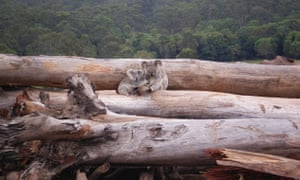 Koala mother and joey seeking refuge on a bulldozed logpile, Queensland