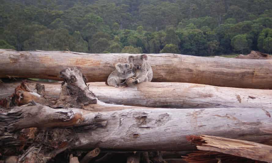 Koala mother and joey seeking refuge on a bulldozed logpile, Queensland