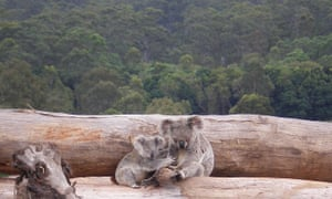A koala mother and joey on a bulldozed log pile in Queensland.
