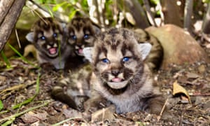 P-54, a three-year-old mountain lion living in the Santa Monica mountains, recently gave birth to a litter of kittens - males P-82 and P-83, and female P-84