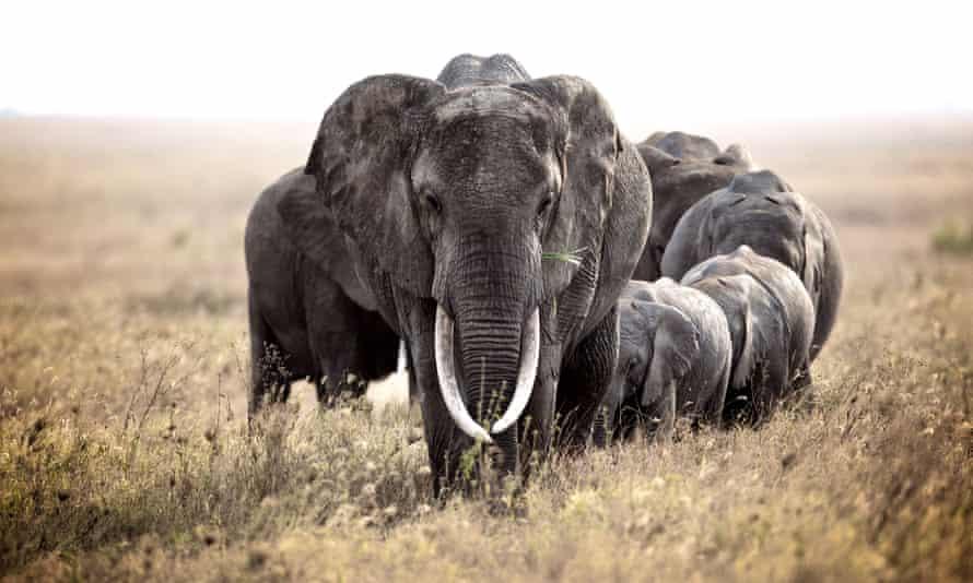 Elephant herd, Serengethi National Park, Tanzania, 2013