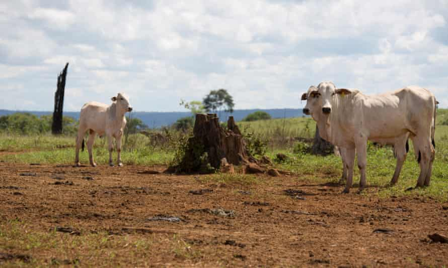 About 240,000 cattle graze within the cleared forest in the park. This farm is owned by government chief of staff Eliseu Padilha.