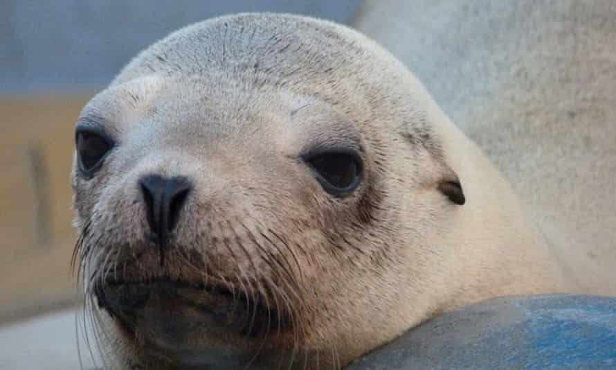 Veterinarians at the Marine Mammal Center suspected Superstition, a California sea lion, had cancer when they discovered a mass in the pelvic region and swelling around the perineum.