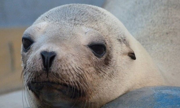 Mysterious California sea lion deaths linked to toxic synthetic chemicals