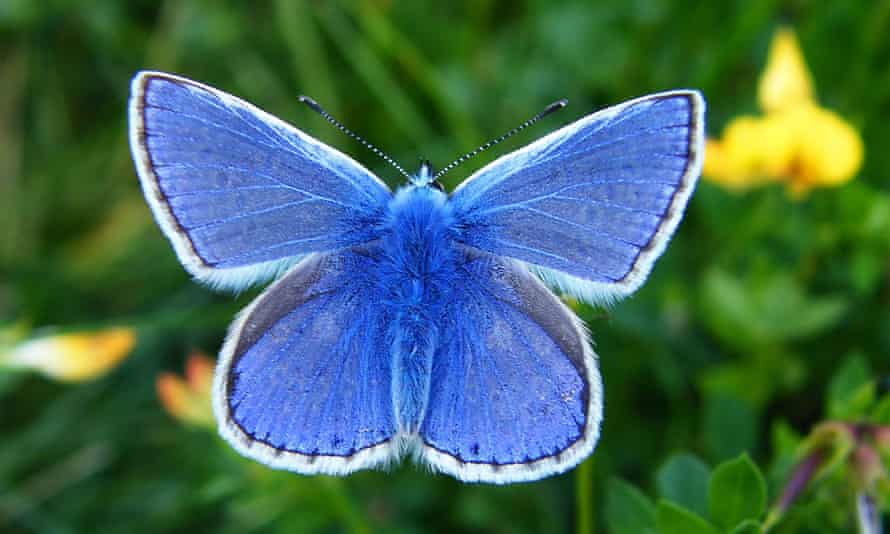 The common blue butterfly, which is in decline in Britain.