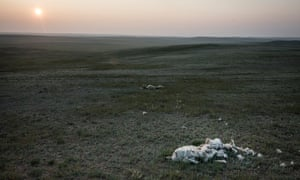 Remains of sheep that perished during the harsh winter in Sukhbaatar region of Mongolia.
