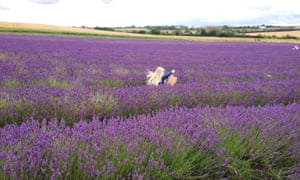 A young girl runs through a field of lavender at Hitchin Lavender Farm, Hertfordshire.
