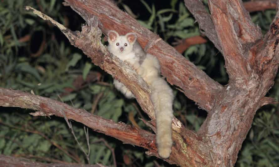 white fluffy marsupial with a long tail clings to a tree branch