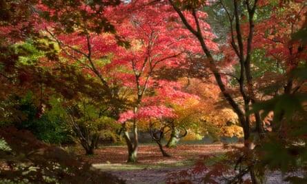 Japanese Maple (Acer) at Westonbirt National Arboretum