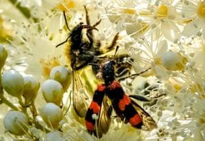 Bee and bee-eating beetle in flower