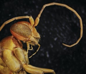 Spider wasps lay single eggs in paralysed spiders. The egg hatches and the larva eats the still-living spider