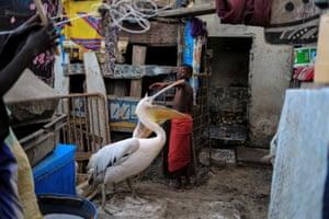 A boy plays with pelicans in Yoff, Dakar, Senegal