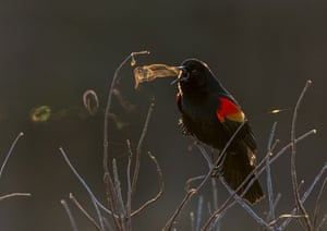A red-winged blackbird in a park in Virginia