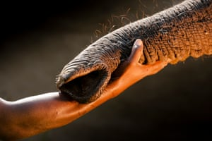 The mahout who has raised this elephant orphan from SA has formed a trusted bond. The elephants are raised to maturity and released as part of a long term study of rehabilitated animals in Abu Camp, Okavango, Botswana