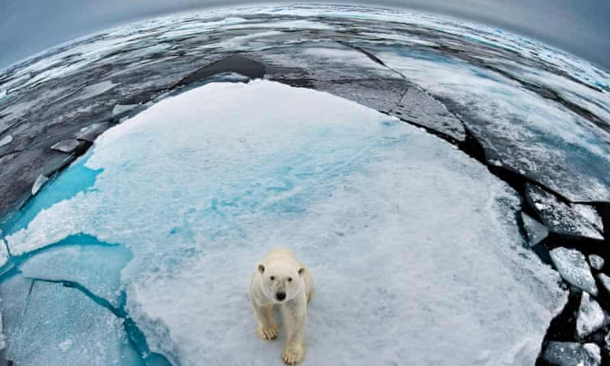 A polar bear in Svalbard, Norway, where the waters have half the average ice for this time of year.