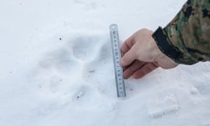 Fomenko measures a tiger's paw print in the snows of Primorski Province. As well as the size, the indistinct outline suggests an older, heavier animal that drags its feet.