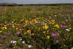 A field of spring wild Fynbos flowers in the West Coast National Park near Velddrif, South Africa