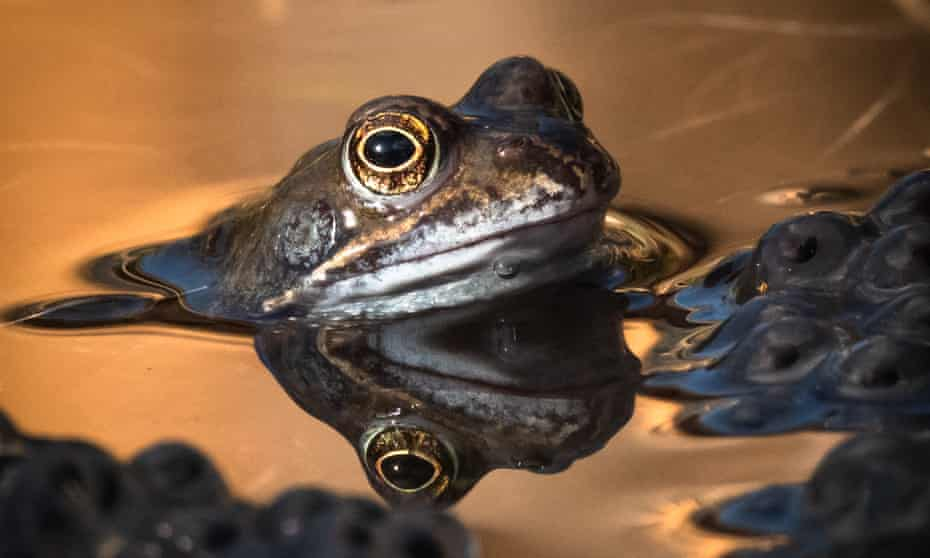 A frog in a garden pond in Bristol on 22 February.