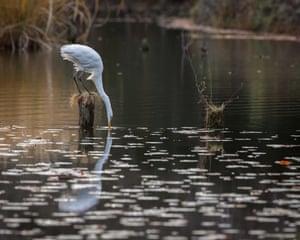An egret hunts for fish in Tokyo, Japan