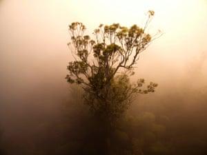 The crown of a Eucalyptus regnans