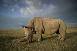 Najin, one of the last two northern white rhinos on the planet, in her enclosure at Ol Pejeta Conservancy, Kenya. This week at the Cites conference in Geneva, South Africa won permission to almost double the number of black rhinos that can be killed as trophies after arguing the money raised would support conservation of the critically endangered species
