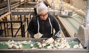 a woman picks garlic on a farm production line