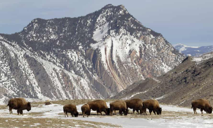 Bison graze, just inside Yellowstone National Park. Authorities propose killing roughly 1000 wild bison this winter, mostly calves and females.