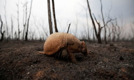 Armadillos and tapirs among wildlife caught in Bolivia's fires – video