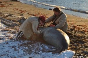 Esther Tarszisz checks the heart of an elephant seal