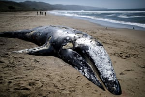 A dead grey whale on Limantour beach in California