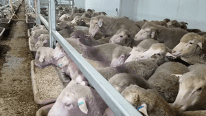 Footage filmed on board the Awassi Express on a voyage from Fremantle to the Middle East in August 2017 shows sheep packed in and climbing over each other to get to feed troughs.
