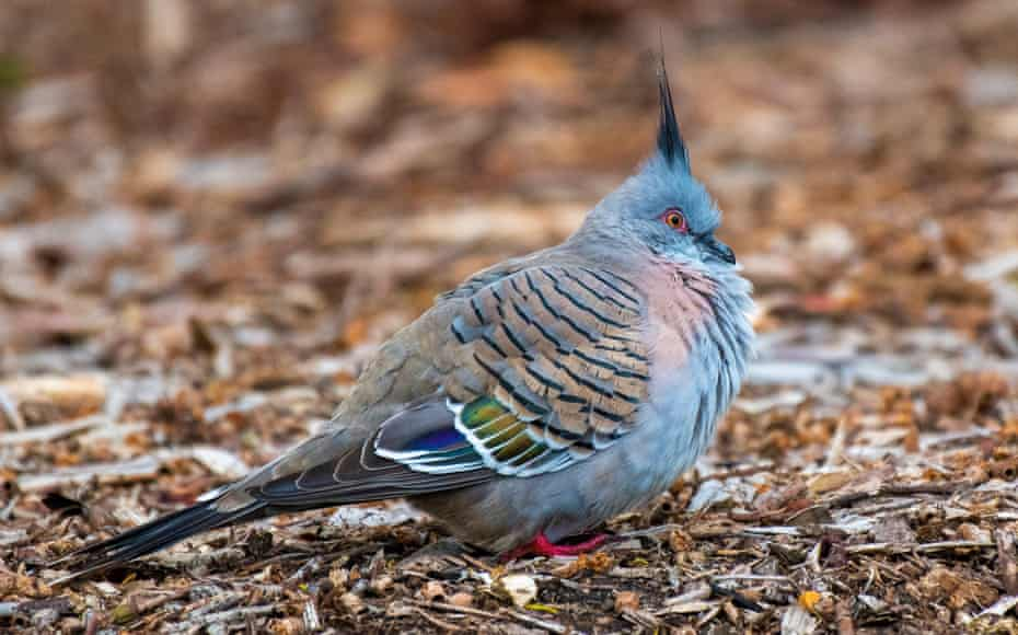 A topknot pigeon in Melbourne's Elsternwick park