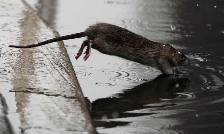 A rat jumps into a puddle in New York, New York.