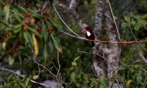 A white-throated kingfisher looks for food near the West Bank city of Nablus
