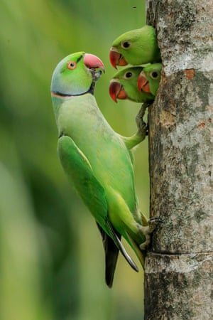 Three rose-ringed parakeet chicks pop their heads out of the nest hole as their father returns with food
