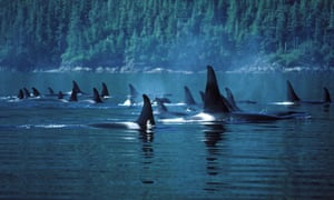 A pod of orcas in Johnstone Strait, British Columbia.