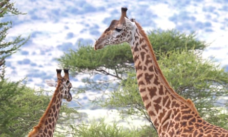 The world's tallest land animal, the giraffe boasts some curious characteristics including elongated neck vertebrae, an unusual heart structures and blood pressure more than twice that of humans.