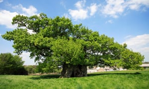 View of the Bowthorpe Oak Tree