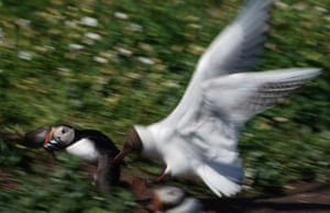 A puffin holding a fish in its beak is chased by black-headed gull