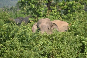 A wild elephant tried enters Garubandha village searching for food, Nagaon, India